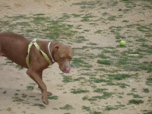 """Lia, doce pitbull com Leishmaniose - """"a nossa protegida"""" DSC04753"""