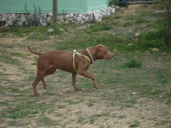 """Lia, doce pitbull com Leishmaniose - """"a nossa protegida"""" DSC04755"""