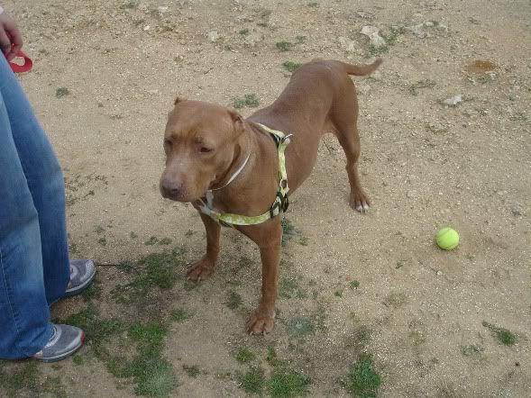 """Lia, doce pitbull com Leishmaniose - """"a nossa protegida"""" DSC04759"""