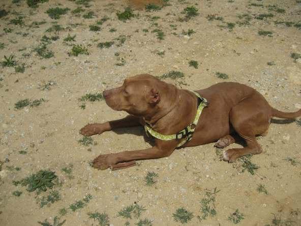 "Lia, doce pitbull com Leishmaniose - ""a nossa protegida"" IMG_5718"