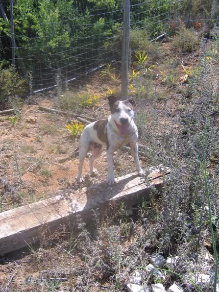 Shiva, Pitbull Meiga, Fêmea, 2 anos, Para Adopção! IMG_9130