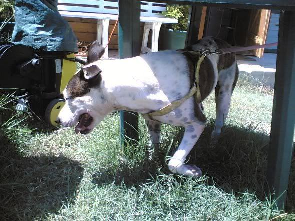 Shiva, Pitbull Meiga, Fêmea, 2 anos, Para Adopção! Imagem1757