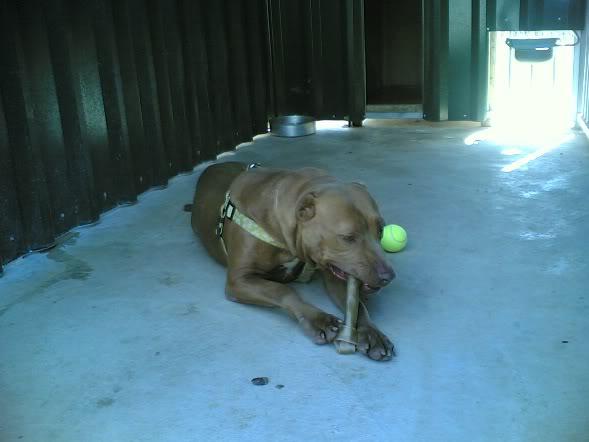 Lia, Doce Pitbull, Fêmea, 2 anos, Para Adopção! Imagem1786