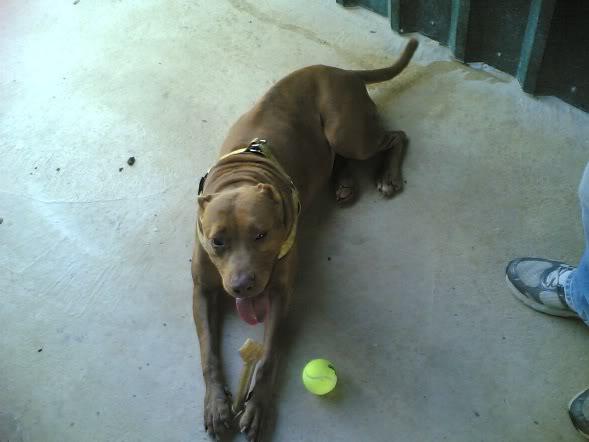 Lia, Doce Pitbull, Fêmea, 2 anos, Para Adopção! Imagem1791