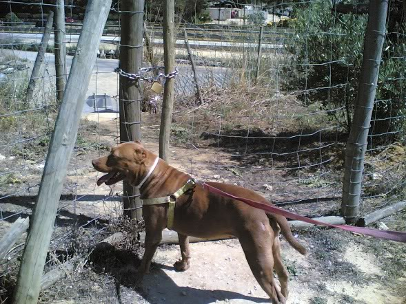 Lia, Doce Pitbull, Fêmea, 2 anos, Para Adopção! Imagem1793