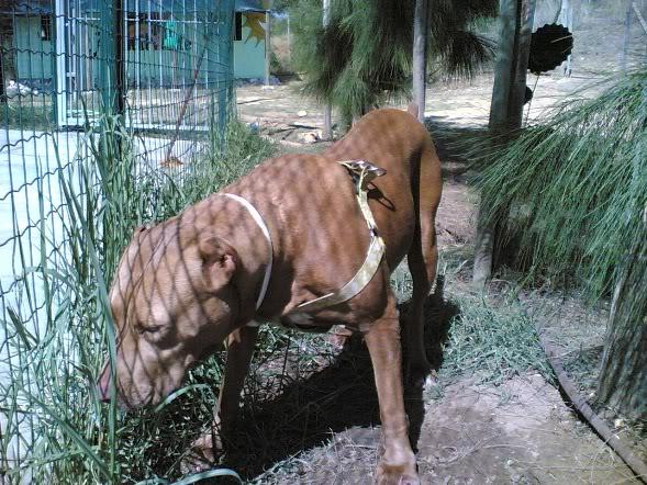Lia, Doce Pitbull, Fêmea, 2 anos, Para Adopção! Imagem1801