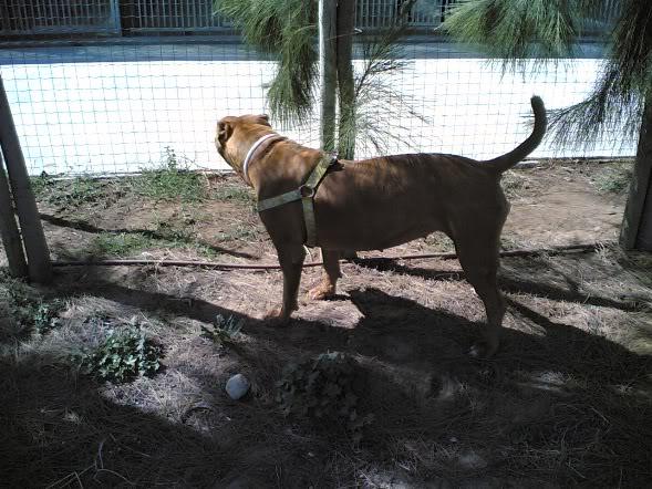 Lia, Doce Pitbull, Fêmea, 2 anos, Para Adopção! Imagem1802