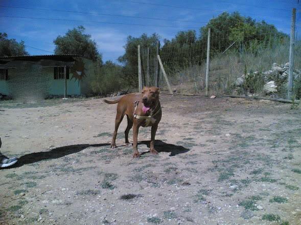 Lia, Doce Pitbull, Fêmea, 2 anos, Para Adopção! Imagem1807