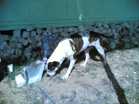 Shiva, Pitbull Meiga, Fêmea, 2 anos, Para Adopção! Imagem1848
