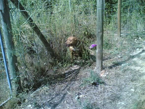 Lia, Doce Pitbull, Fêmea, 2 anos, Para Adopção! Imagem1849
