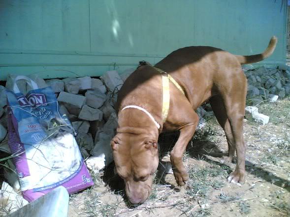 Lia, Doce Pitbull, Fêmea, 2 anos, Para Adopção! Imagem1851