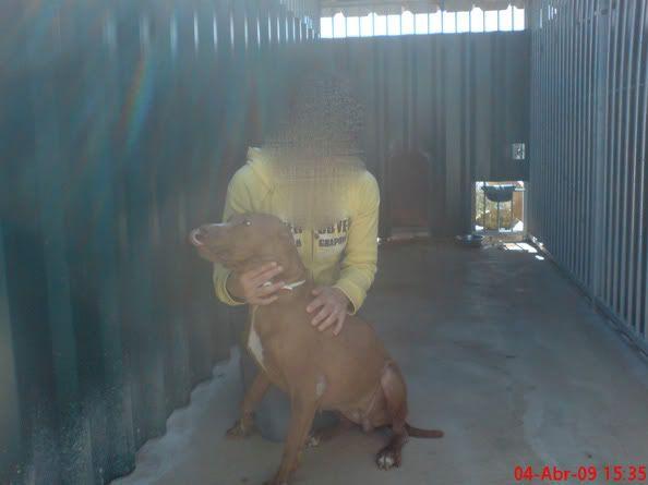 """Lia, doce pitbull com Leishmaniose - """"a nossa protegida"""" Lia1visita1_"""