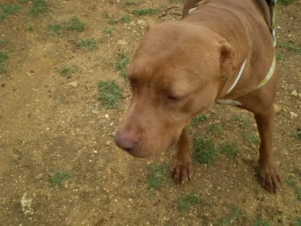 "Lia, doce pitbull com Leishmaniose - ""a nossa protegida"" P5090847"