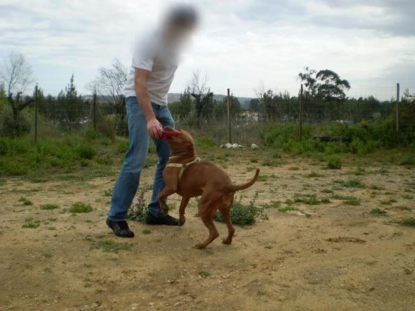 "Lia, doce pitbull com Leishmaniose - ""a nossa protegida"" P5090857_"