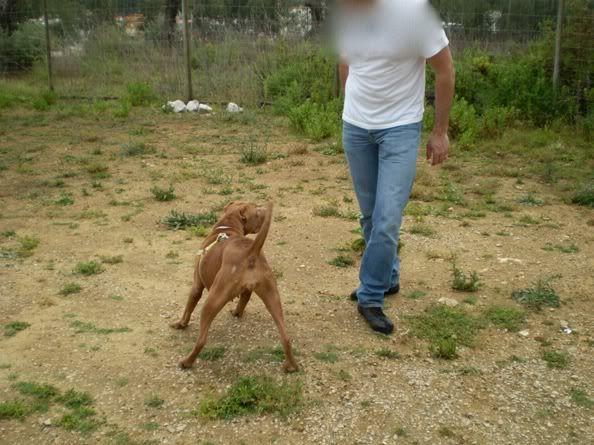 "Lia, doce pitbull com Leishmaniose - ""a nossa protegida"" P5090858_"