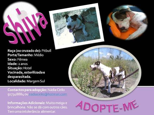 Shiva, Pitbull Meiga, Fêmea, 2 anos, Para Adopção! Shiva-Divulgao-1