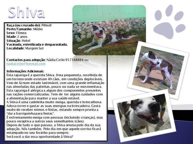 Shiva, Pitbull Meiga, Fêmea, 2 anos, Para Adopção! Shiva-Divulgao