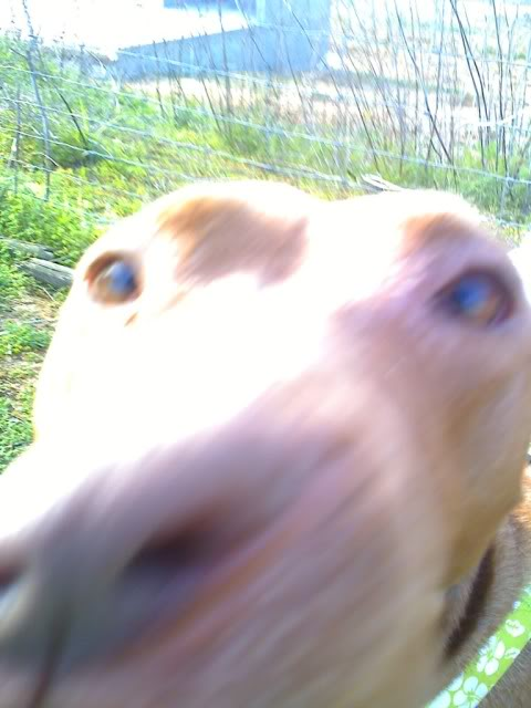 "Lia, doce pitbull com Leishmaniose - ""a nossa protegida"" Moto_0243_"
