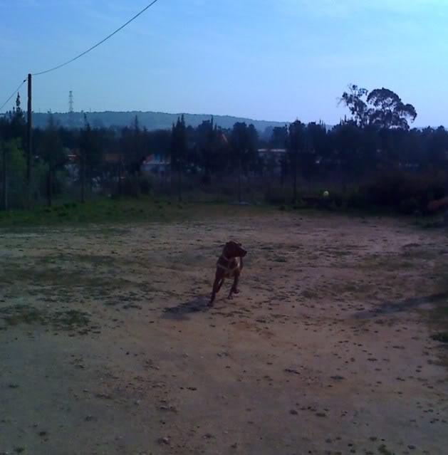 "Lia, doce pitbull com Leishmaniose - ""a nossa protegida"" Moto_0248_"