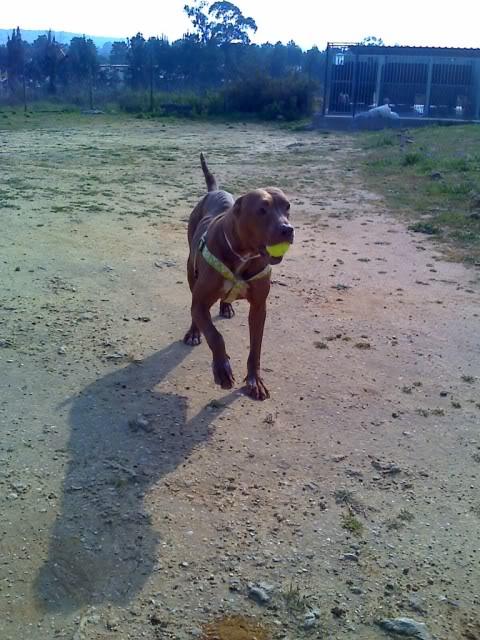 "Lia, doce pitbull com Leishmaniose - ""a nossa protegida"" Moto_0249_"