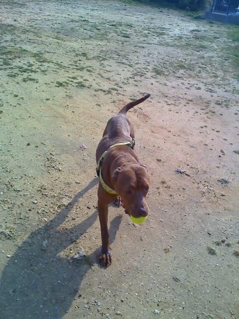 "Lia, doce pitbull com Leishmaniose - ""a nossa protegida"" Moto_0250_"
