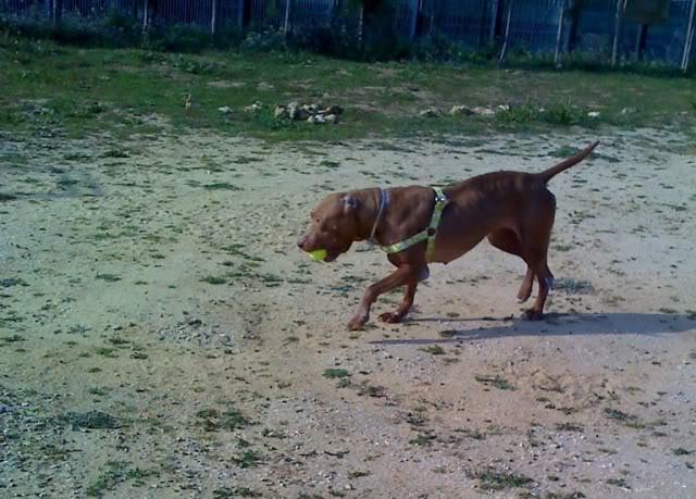 "Lia, doce pitbull com Leishmaniose - ""a nossa protegida"" Moto_0253_"
