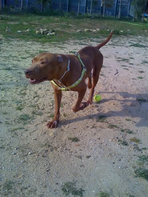 "Lia, doce pitbull com Leishmaniose - ""a nossa protegida"" Moto_0258_"