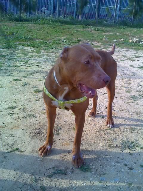 "Lia, doce pitbull com Leishmaniose - ""a nossa protegida"" Moto_0259_"