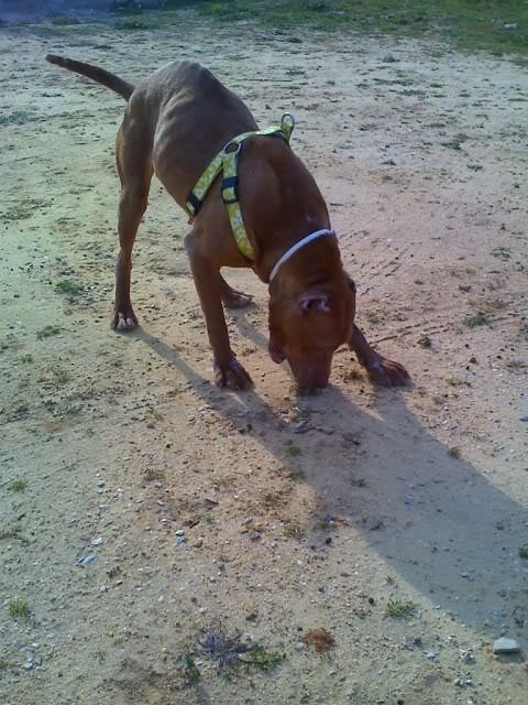 "Lia, doce pitbull com Leishmaniose - ""a nossa protegida"" Moto_0260_"