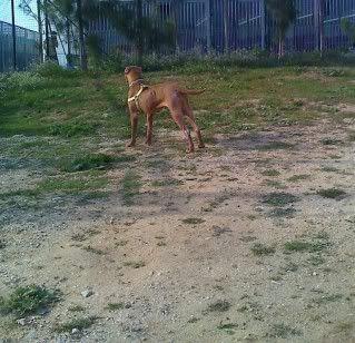 "Lia, doce pitbull com Leishmaniose - ""a nossa protegida"" Moto_0262_-1"