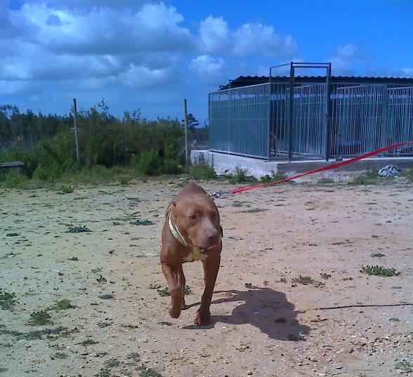 "Lia, doce pitbull com Leishmaniose - ""a nossa protegida"" Moto_0453_"