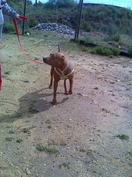 "Lia, doce pitbull com Leishmaniose - ""a nossa protegida"" Moto_0492_"