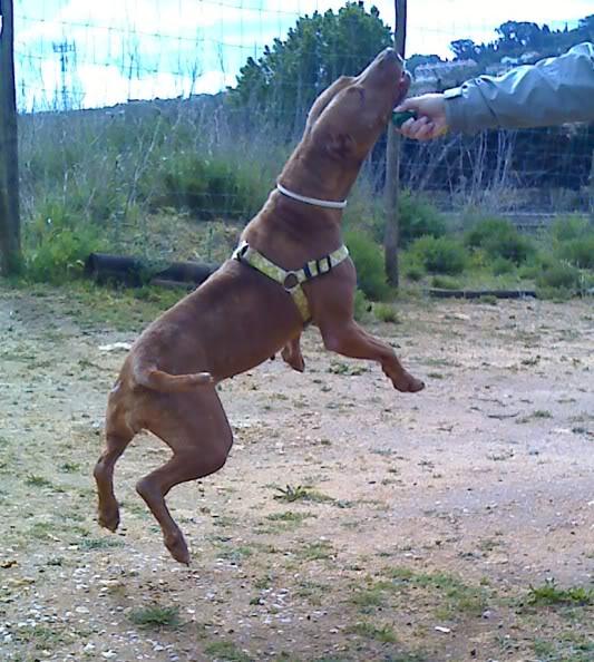 "Lia, doce pitbull com Leishmaniose - ""a nossa protegida"" Moto_0493_"