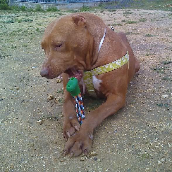 "Lia, doce pitbull com Leishmaniose - ""a nossa protegida"" Moto_0496_"
