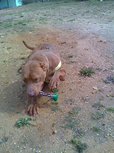 "Lia, doce pitbull com Leishmaniose - ""a nossa protegida"" Moto_0504_"