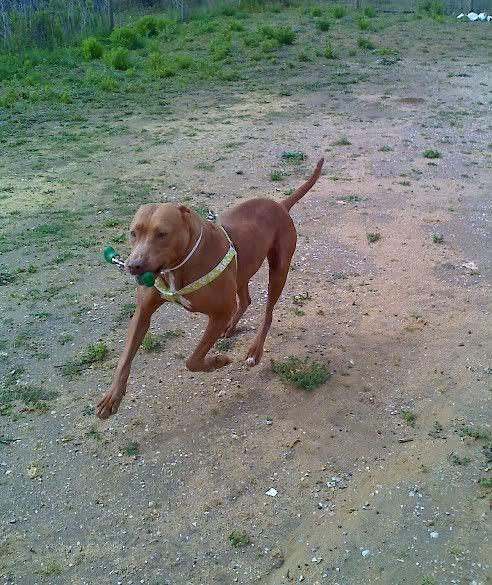 "Lia, doce pitbull com Leishmaniose - ""a nossa protegida"" Moto_0505_"