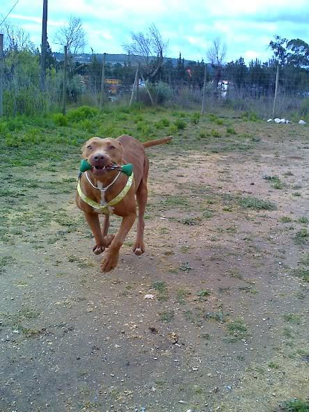 Lia, Doce Pitbull, Fêmea, 2 anos, Para Adopção! Moto_0508_-1