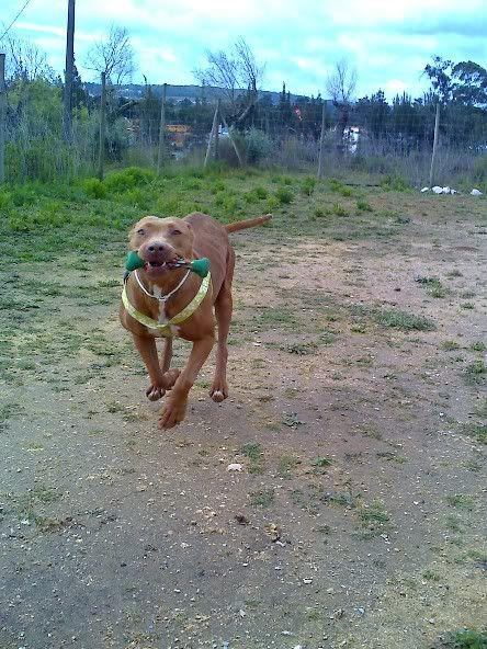 "Lia, doce pitbull com Leishmaniose - ""a nossa protegida"" Moto_0508_"