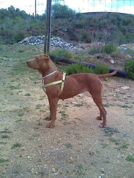 "Lia, doce pitbull com Leishmaniose - ""a nossa protegida"" Moto_0515_"