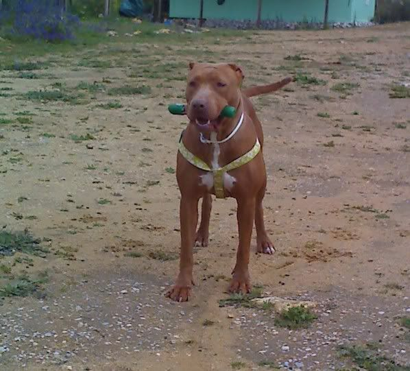 "Lia, doce pitbull com Leishmaniose - ""a nossa protegida"" Moto_0517_"