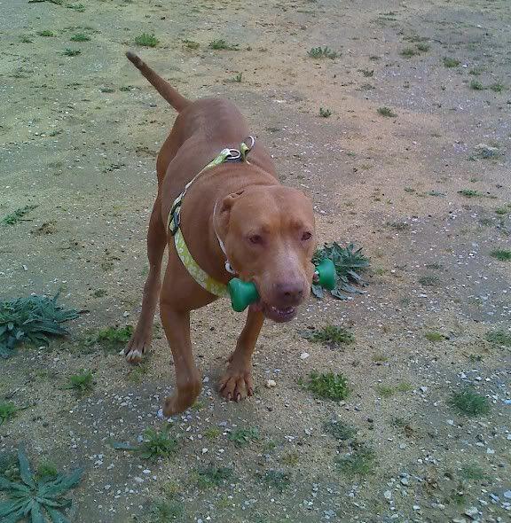 "Lia, doce pitbull com Leishmaniose - ""a nossa protegida"" Moto_0518_"