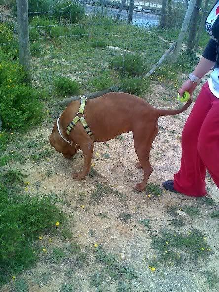 "Lia, doce pitbull com Leishmaniose - ""a nossa protegida"" Moto_0618"