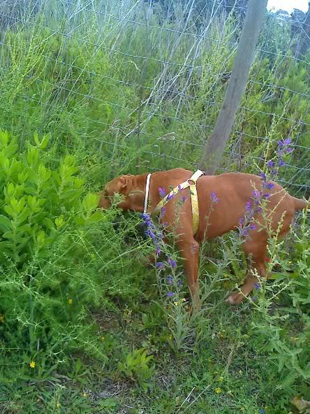 "Lia, doce pitbull com Leishmaniose - ""a nossa protegida"" Moto_0624"