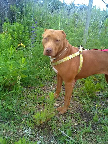 "Lia, doce pitbull com Leishmaniose - ""a nossa protegida"" Moto_0626"