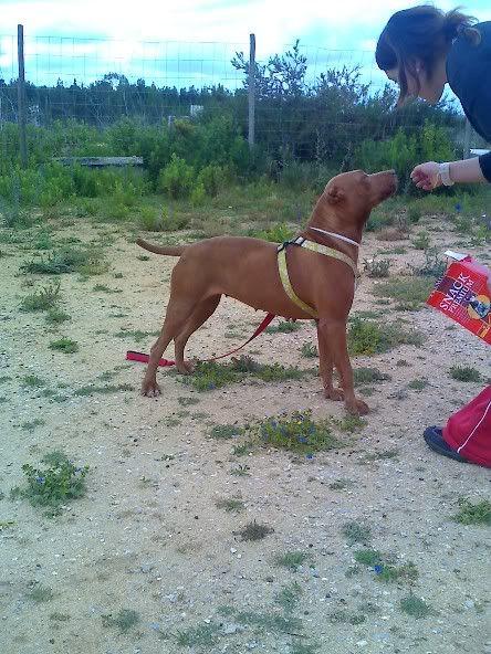 "Lia, doce pitbull com Leishmaniose - ""a nossa protegida"" Moto_0633"