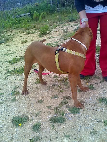 "Lia, doce pitbull com Leishmaniose - ""a nossa protegida"" Moto_0635"