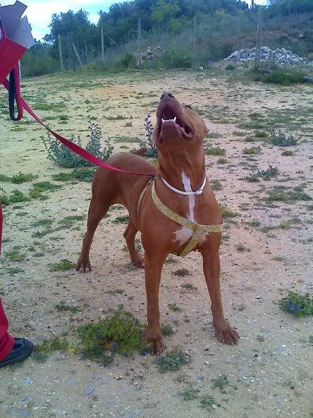 "Lia, doce pitbull com Leishmaniose - ""a nossa protegida"" Moto_0636"