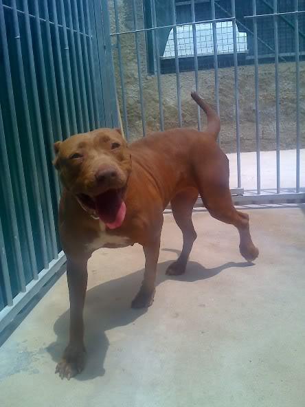 Lia, Doce Pitbull, Fêmea, 2 anos, Para Adopção! Moto_0655-1