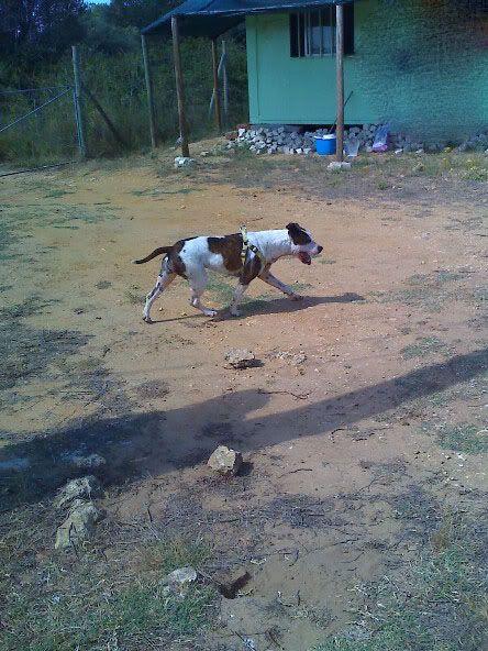Shiva, Pitbull Meiga, Fêmea, 2 anos, Para Adopção! Moto_0844