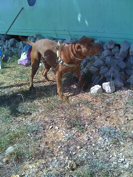 Lia, Doce Pitbull, Fêmea, 2 anos, Para Adopção! Moto_0849